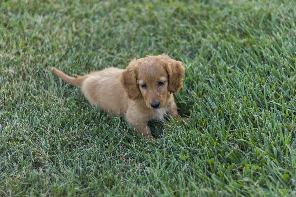 brown puppy on grass