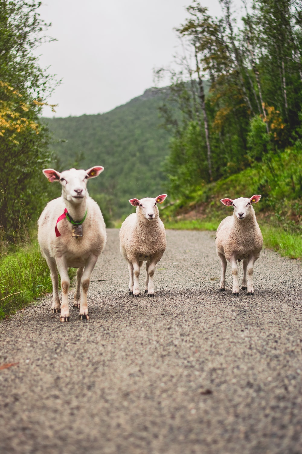three white goats on dirt road during day