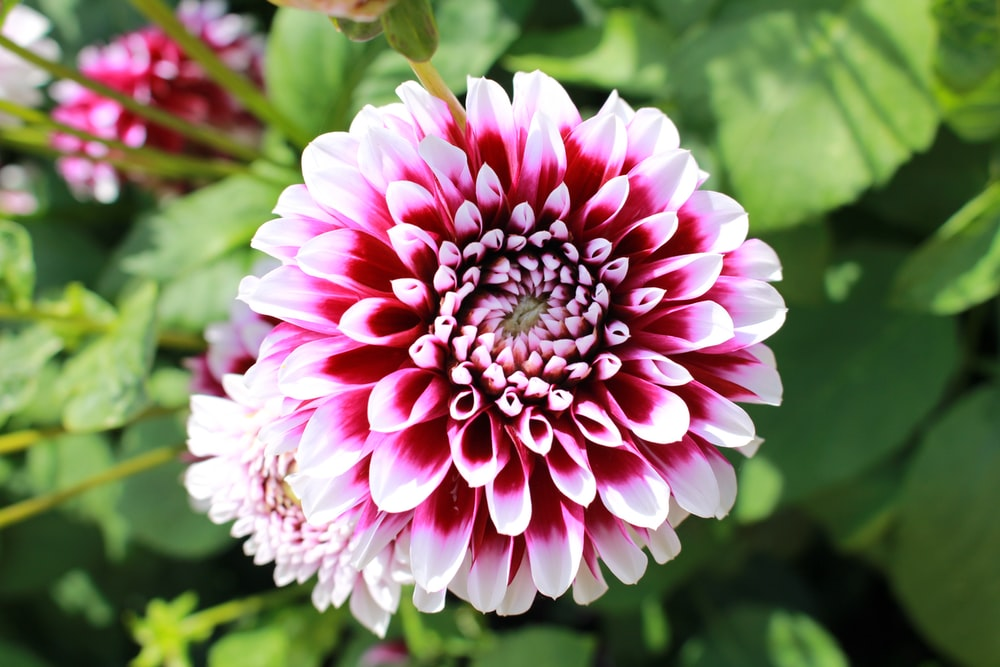 pink-petaled flowers