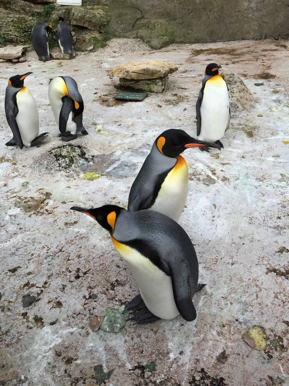 group of penguins on focus photography