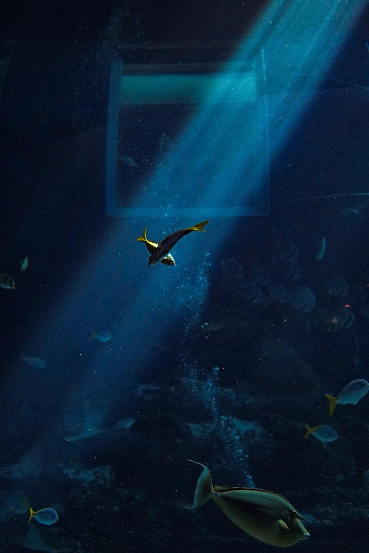 yellow and blue tang fish