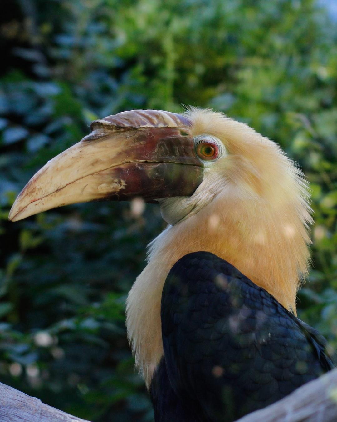 A Papuan Hornbill