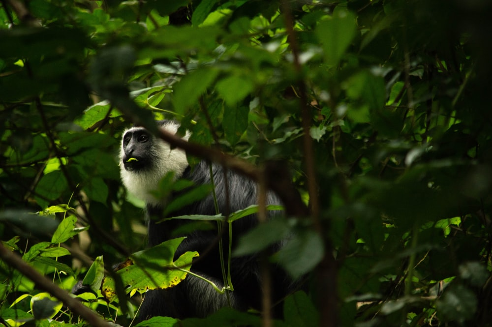 white and black monkey on tree