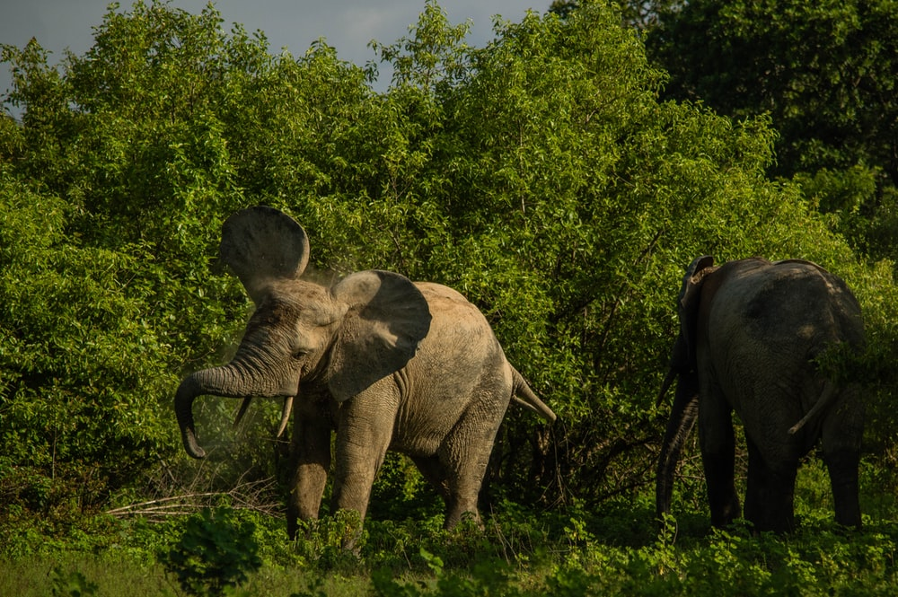 wildlife photo of two gray elephants