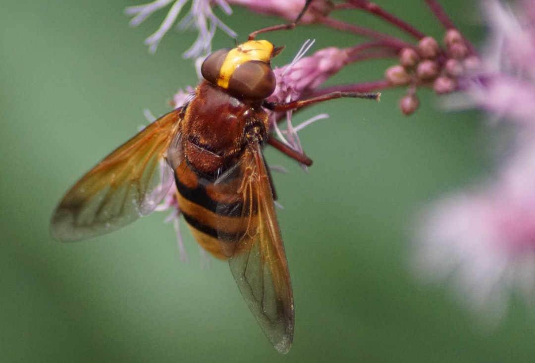Volucella zonaria, the hornet mimic hoverfly