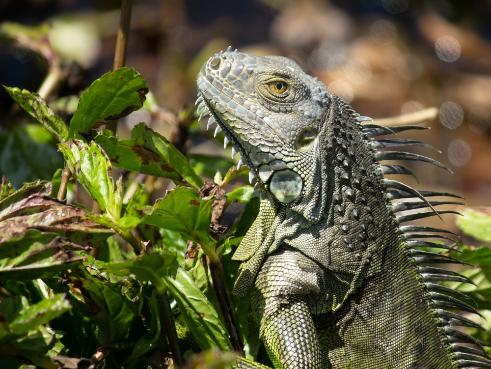 green and gray bearded dragon
