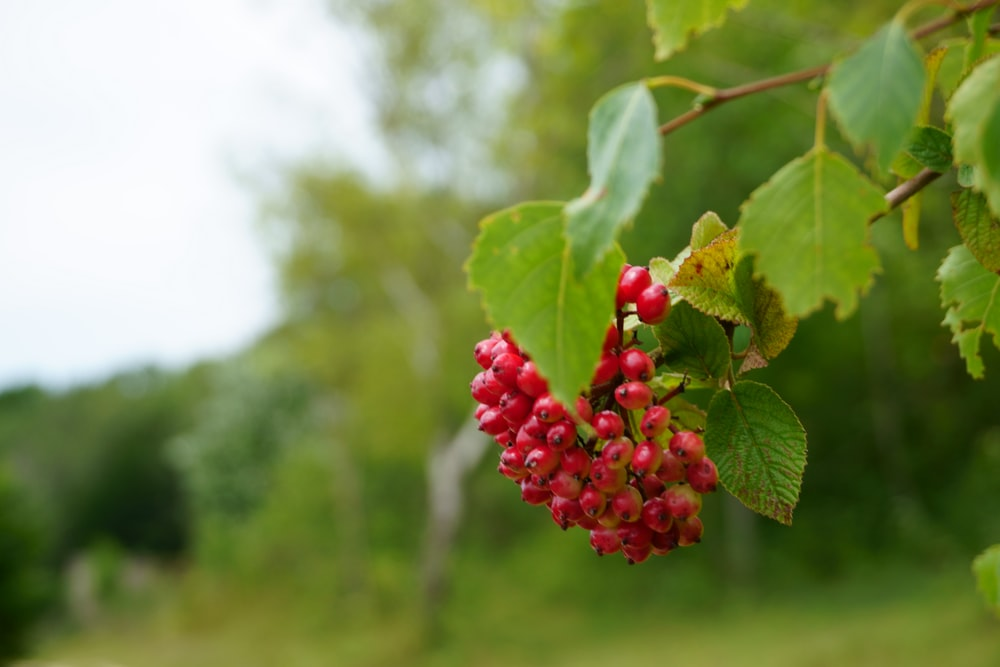 red berries hanging front plant