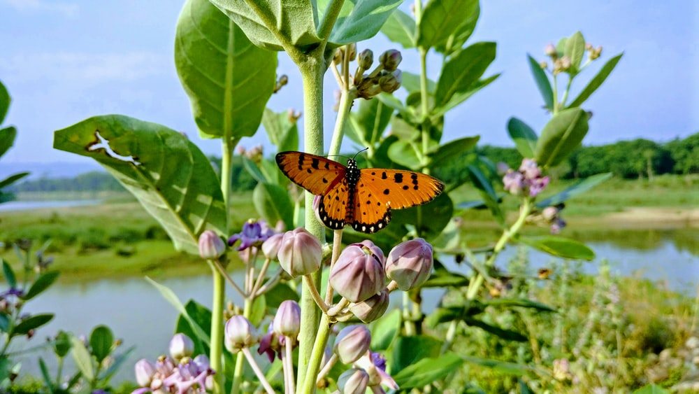 monarch butterfly sniffing on flower