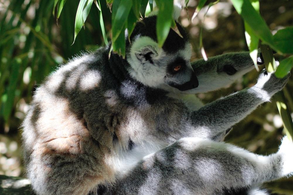 gray lemur on focus photography