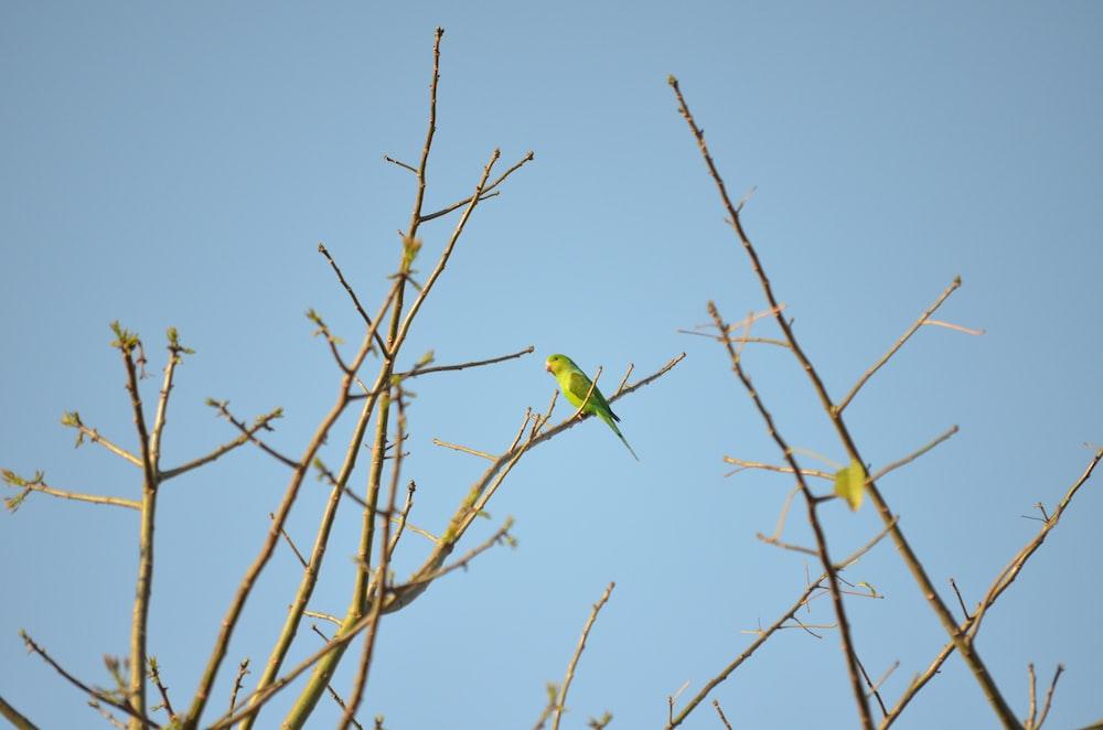 green budgerigar on bare tree