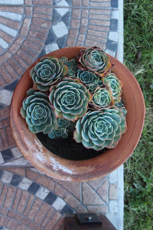 green succulent plants in pot