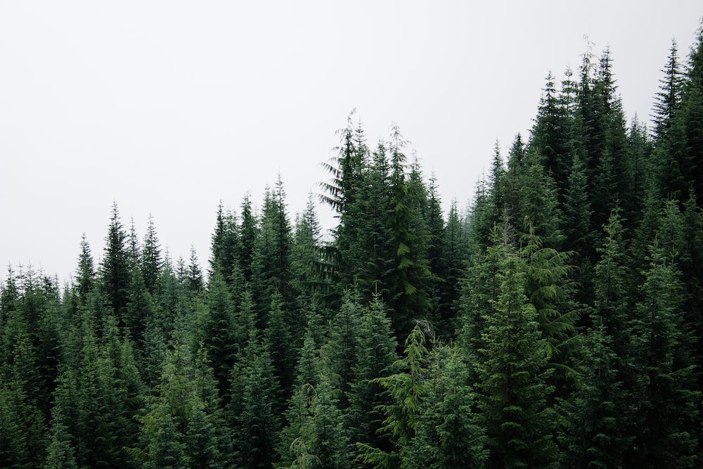 selective focus photography of pine trees