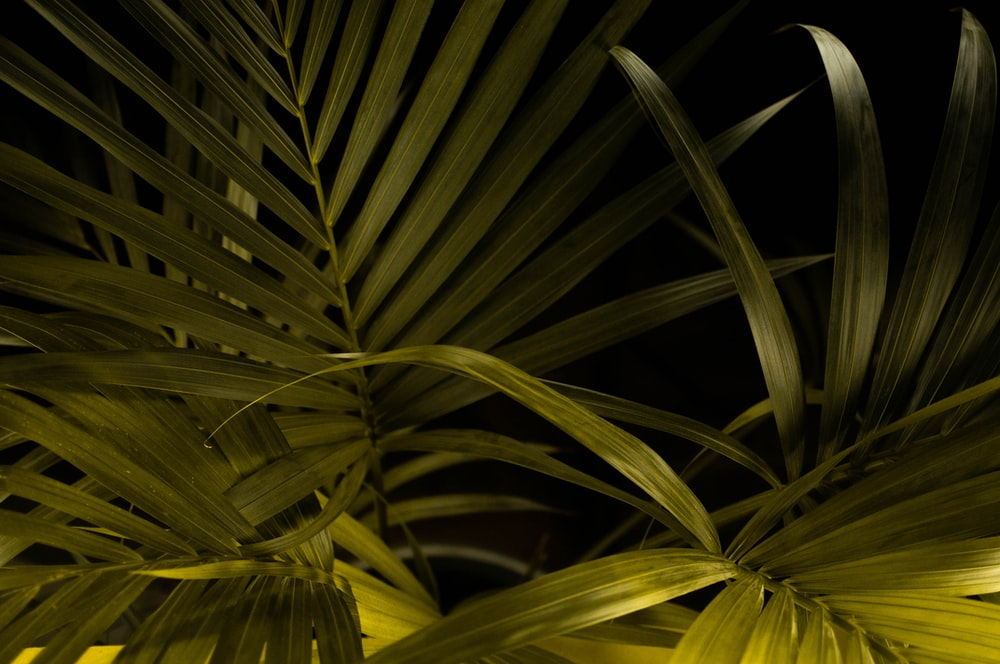 linear green-leafed palm plant