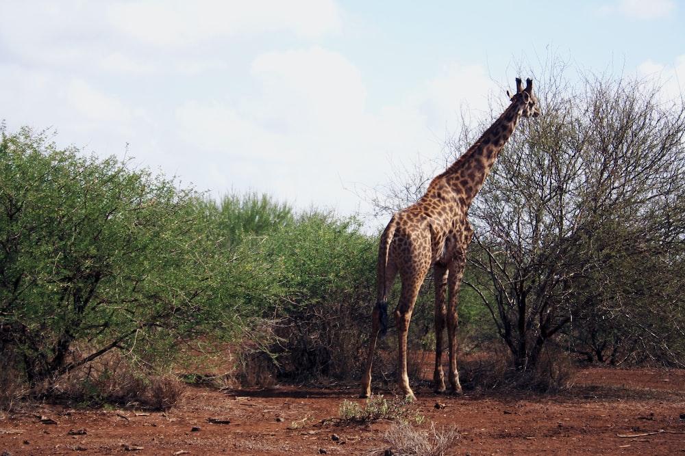 brown giraffe beside leafless tree