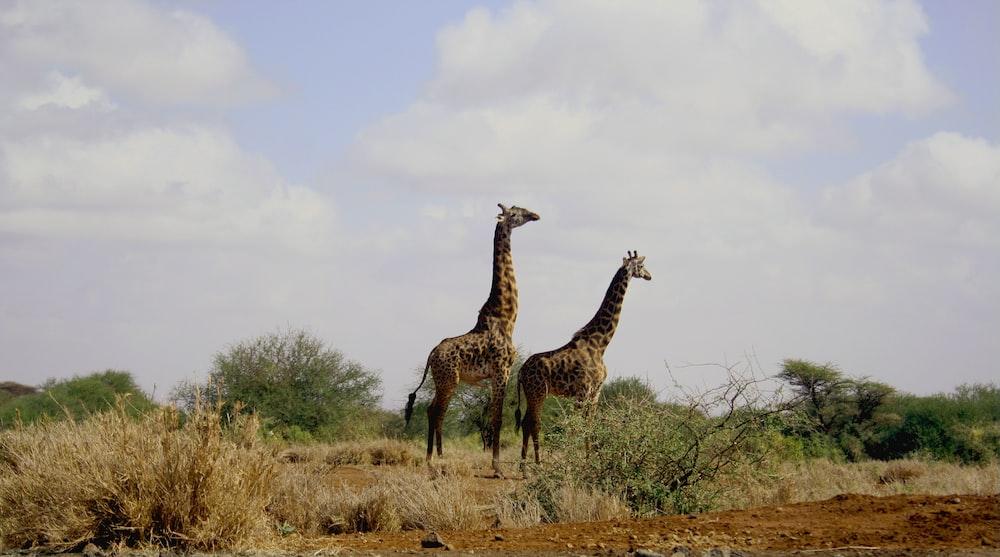 two giraffe animals