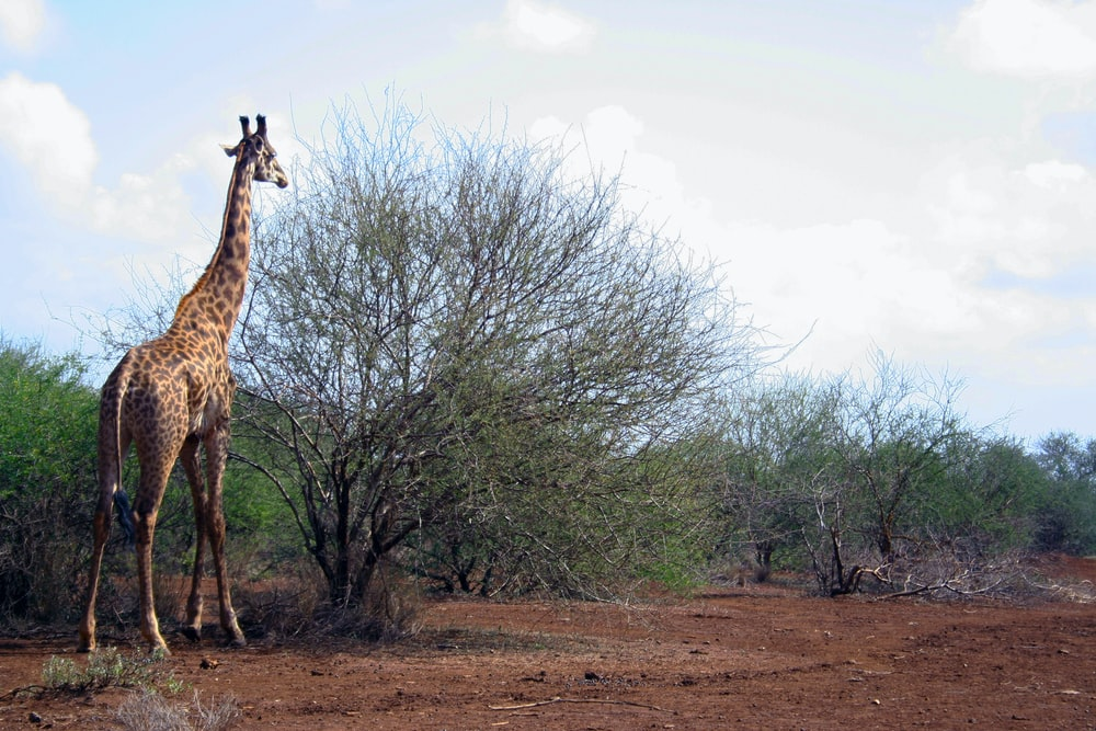 Giraffe beside tree