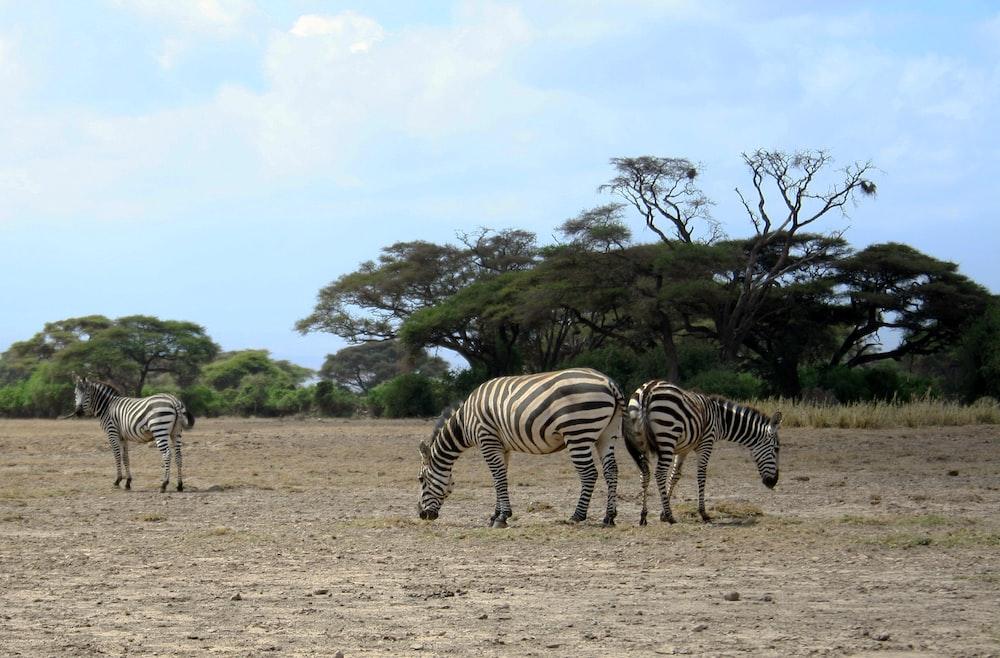 three zebras in a field during daytime