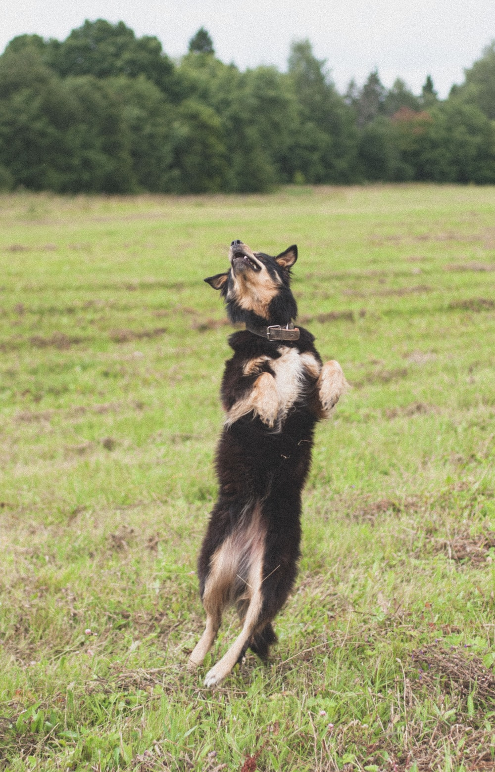 black and brown long-coat dog