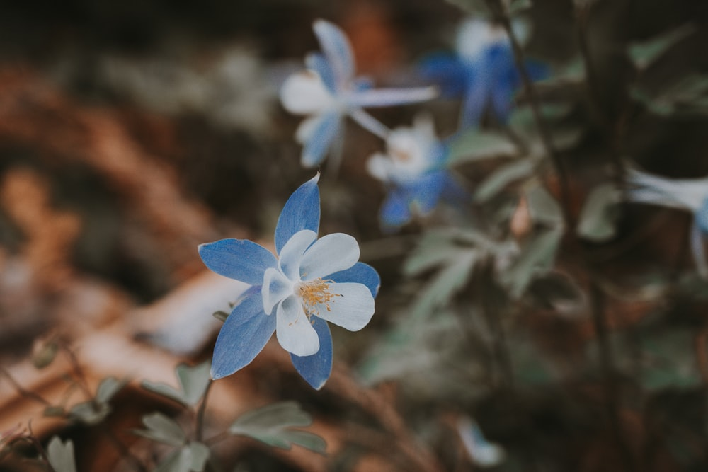 white and blue-petaled flower