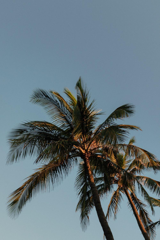tall coconut tree