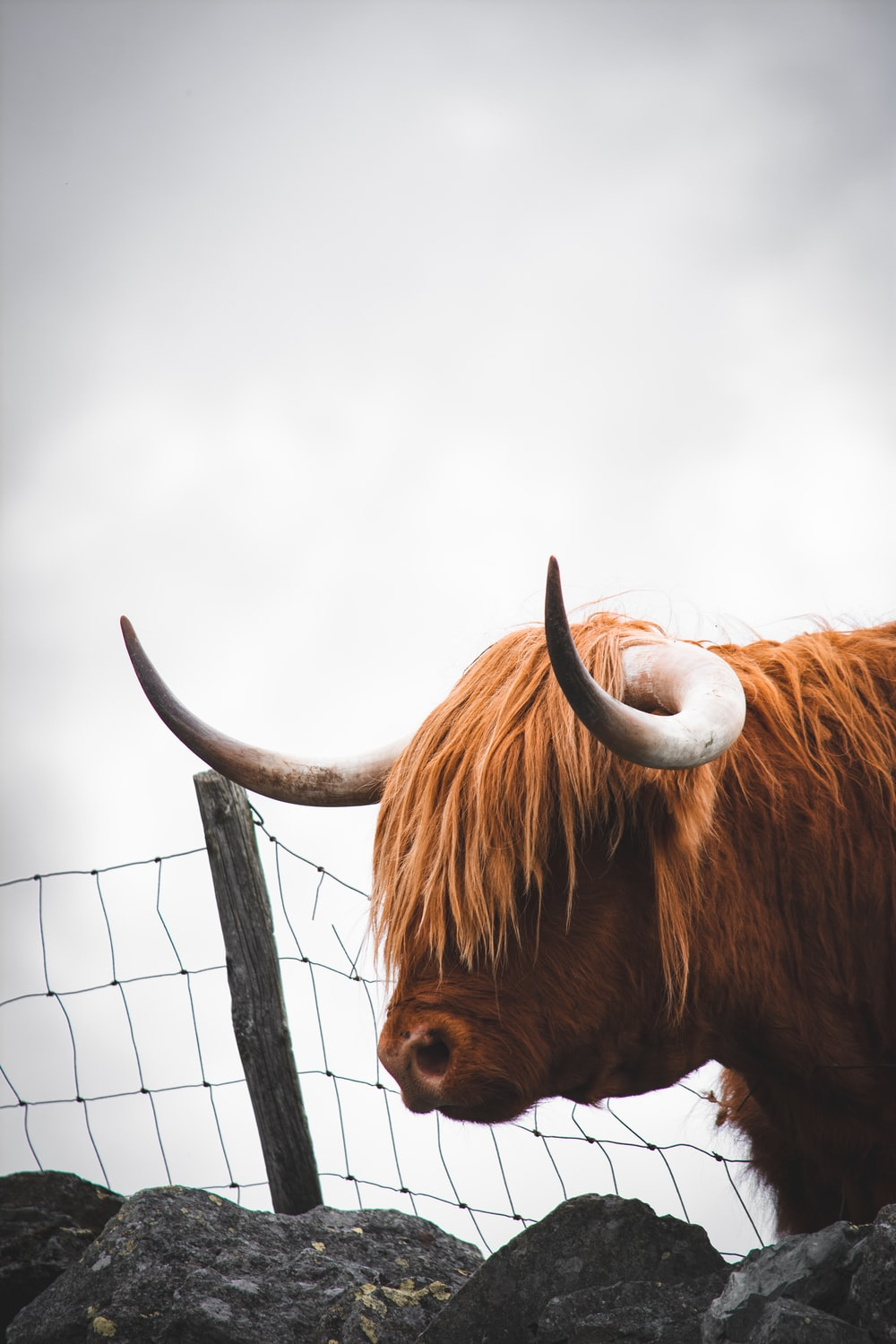 brown bull on focus photography