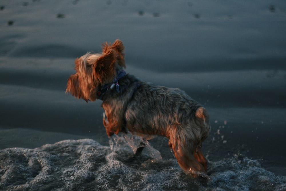 Yorkshire terrier in seashore