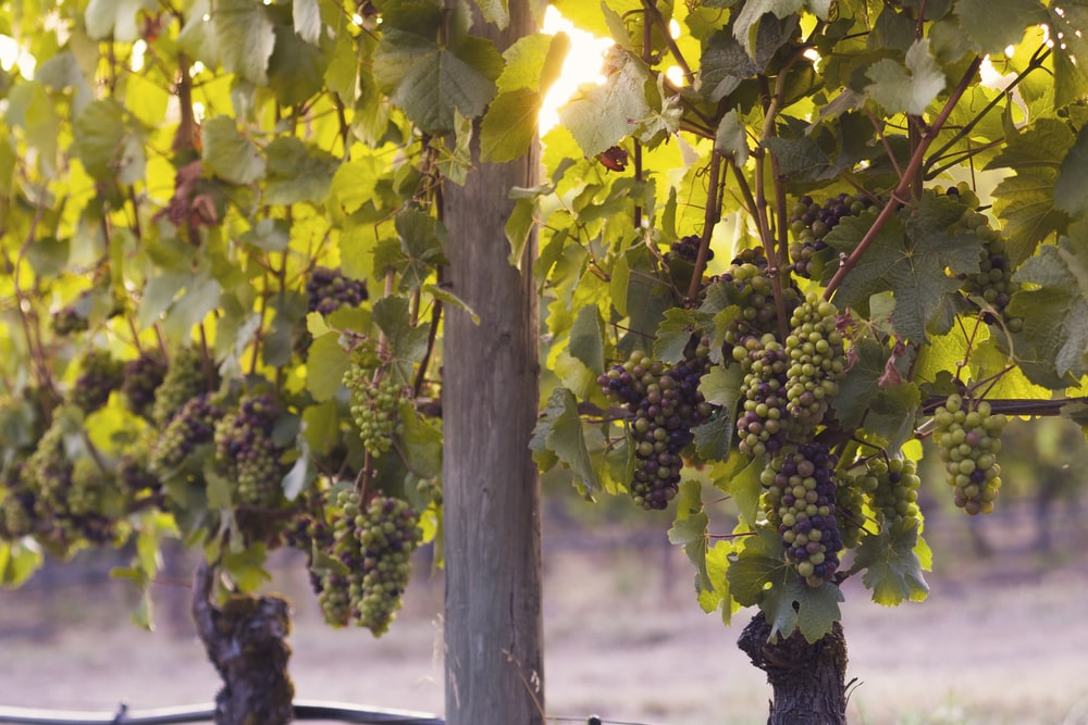 grapes hanging on tree