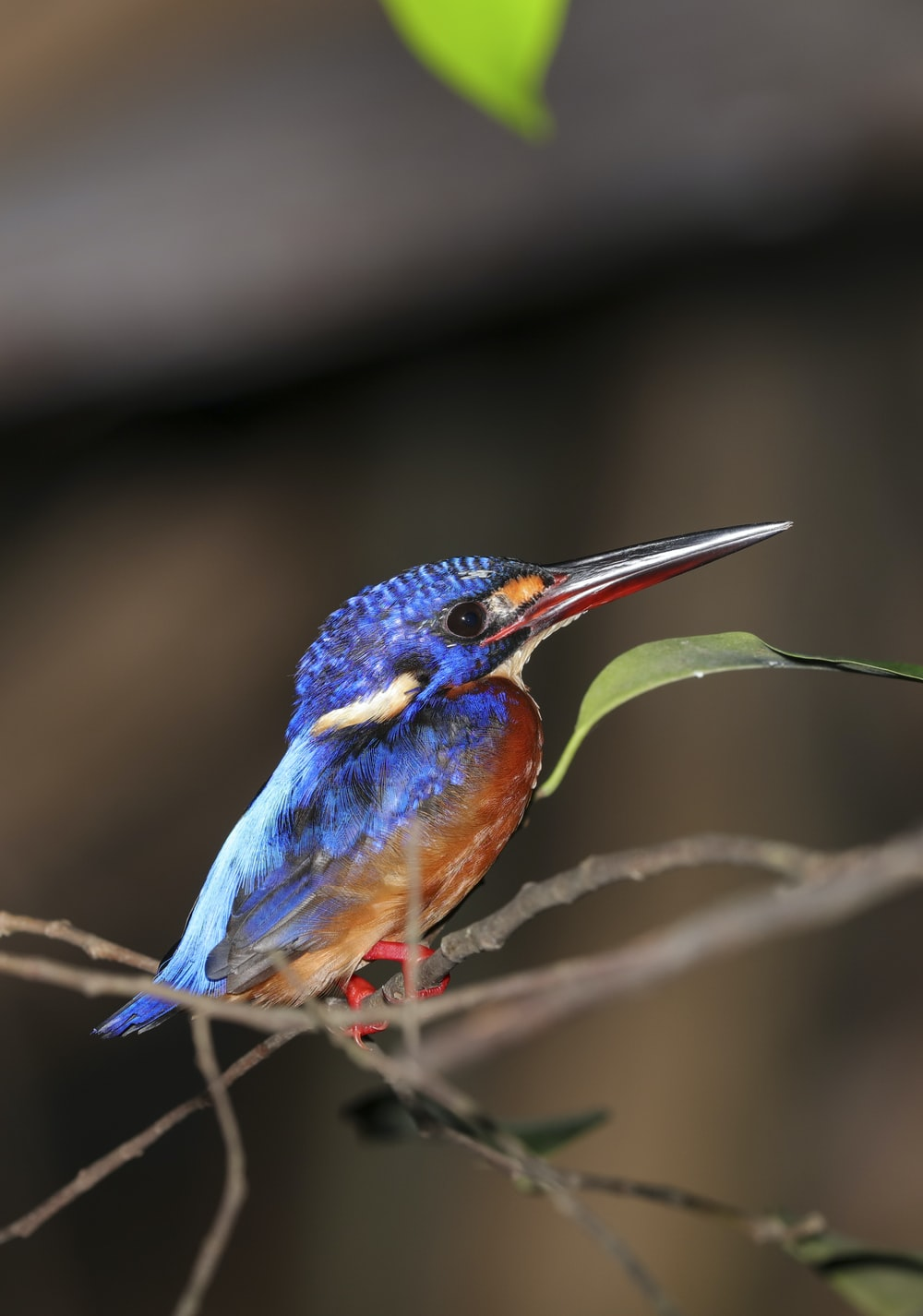red and blue bird