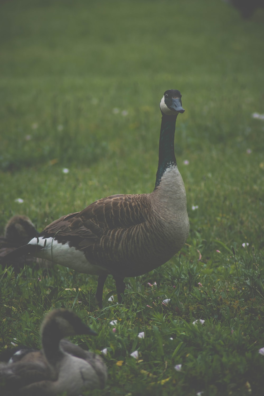 brown and black goose walking on grass field