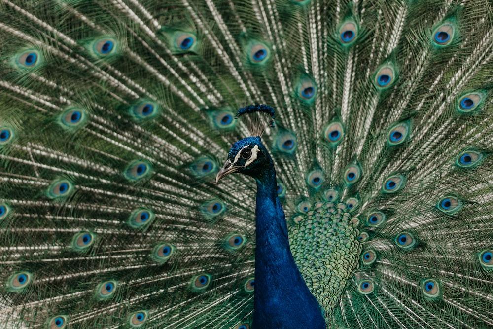 blue nad green peacock
