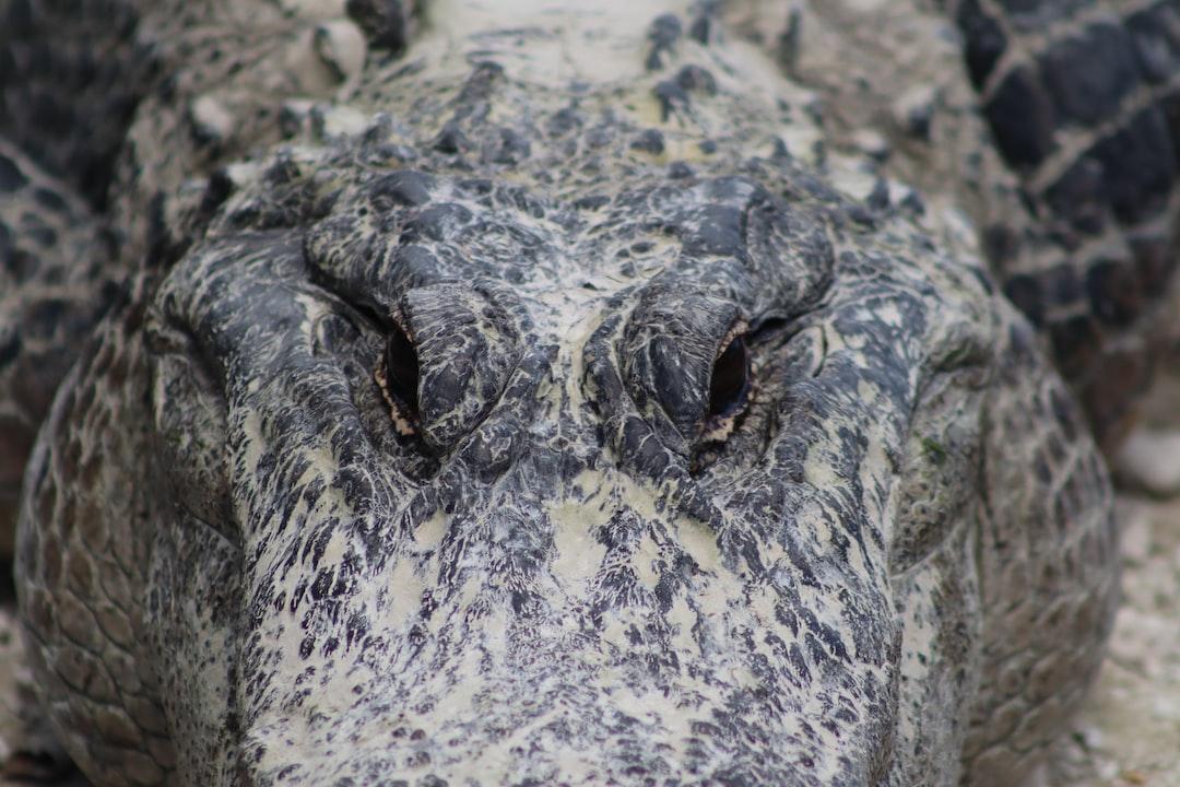 An alligator at South Florida's oldest alligator farm, the Everglades Alligator Farm. Near the entrance of Everglades National Park, the farm contains more than 2,000 alligators.