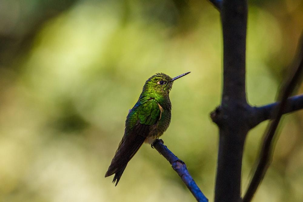 green and black hummingbird