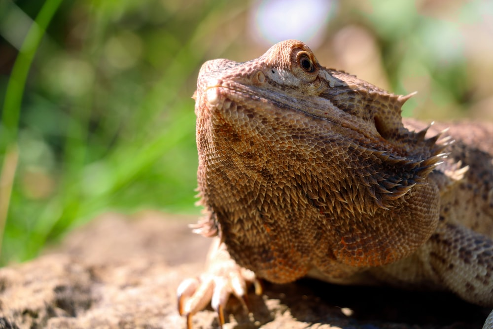 closuep photo of brown iguana