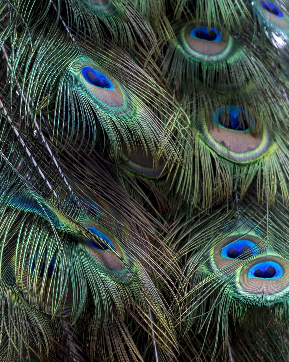 green and brown peacock feathers