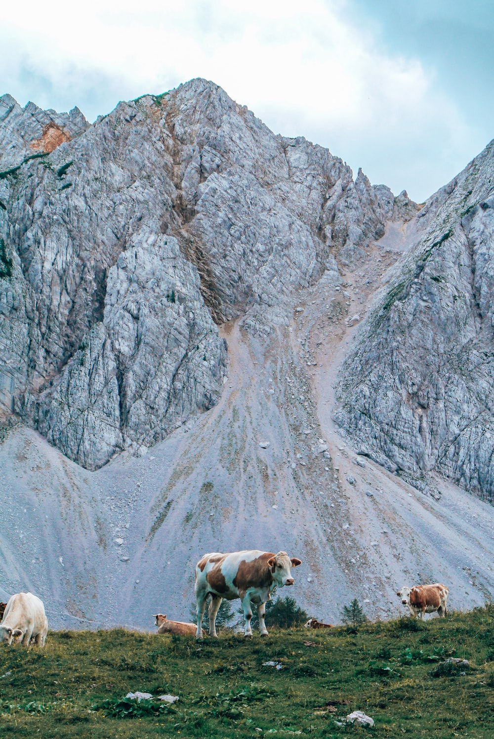 group of cows near mountain