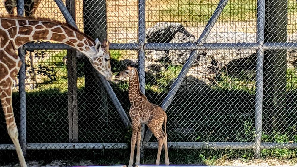 brown giraffe with calf beside fence