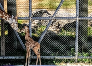 brown giraffe with calf beside fence