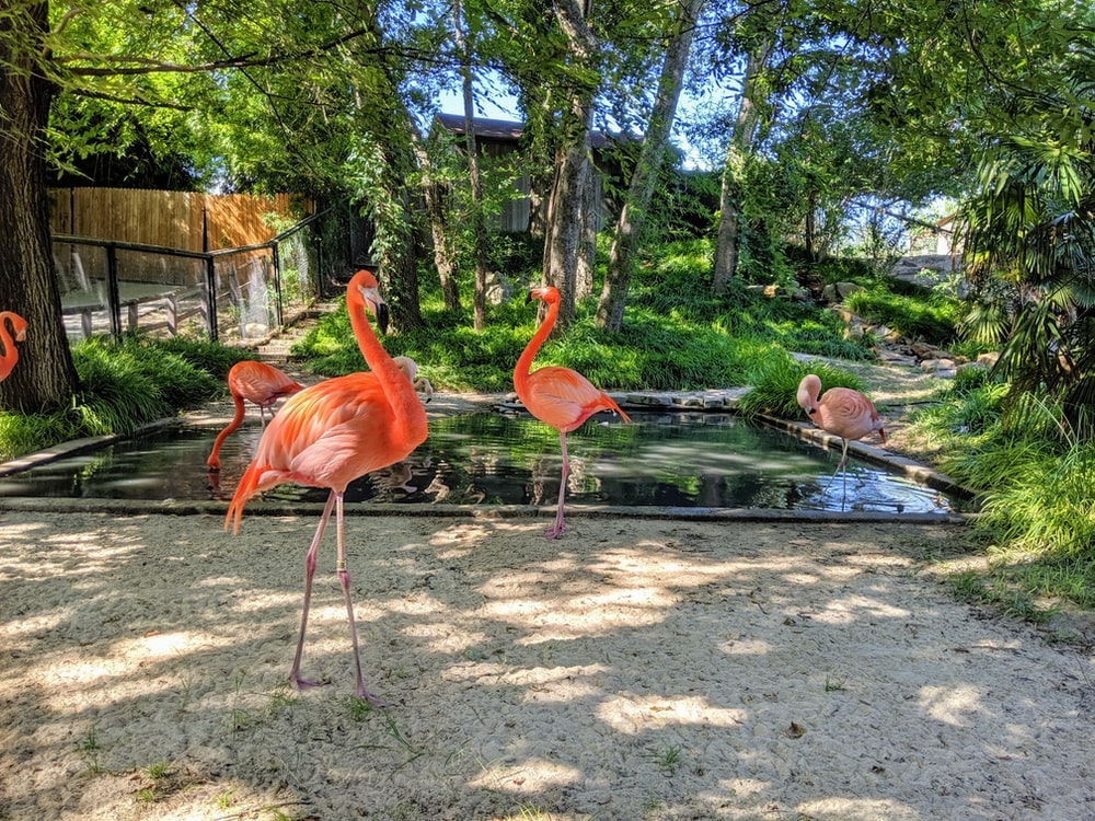 pink flamingos beside small body of water