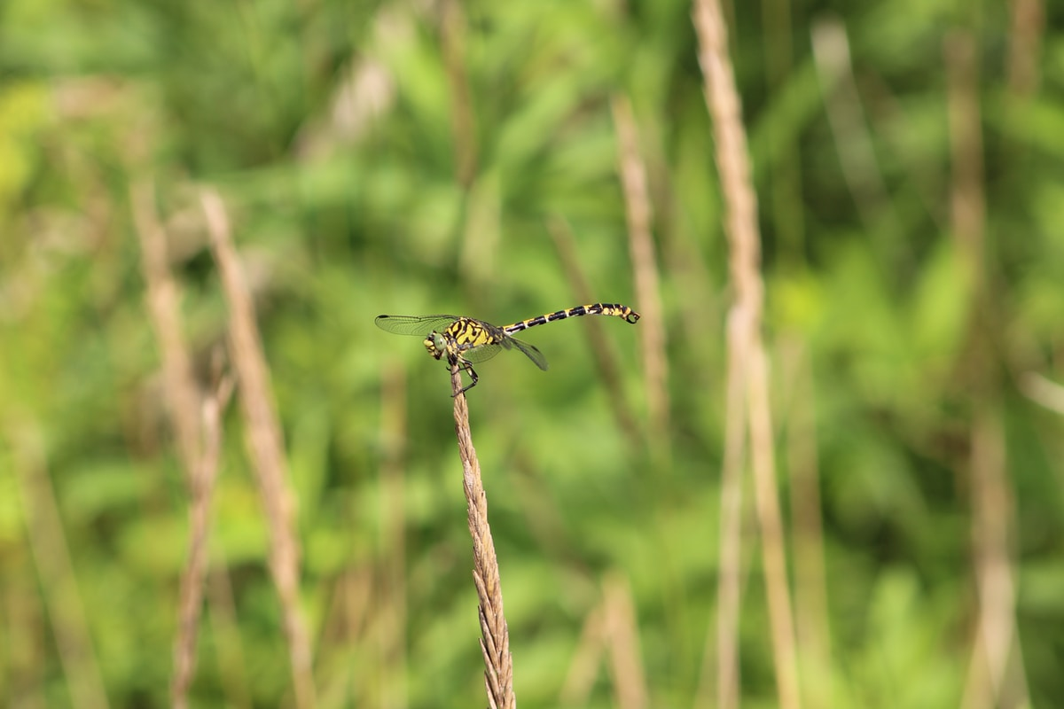 A yellow and black dragonfly perched on a brown shoot with green vegetation blurred behind.