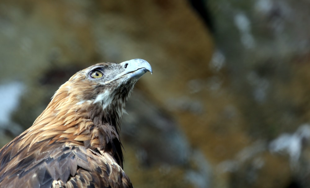 selective focus photography of brown eagle