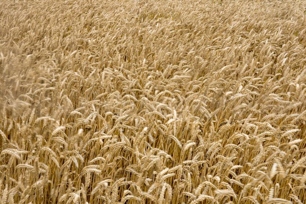 beige field