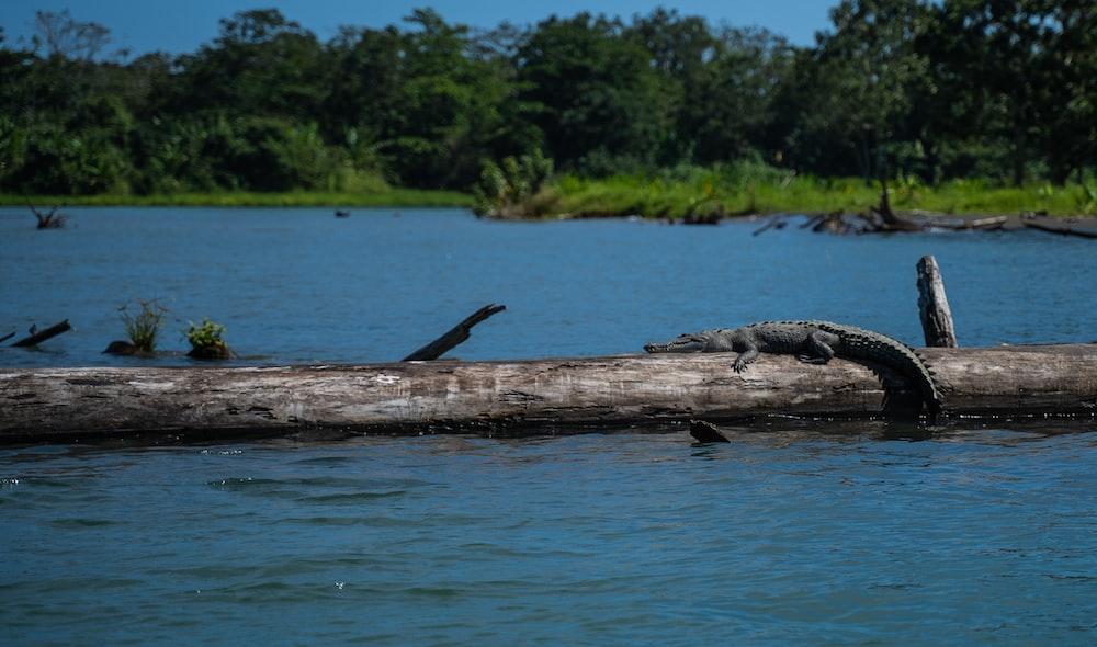 gray crocodile on fallen tree on body of water