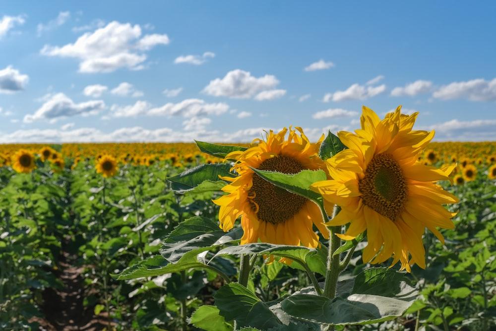 sunflowers during daytime