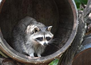 gra raccoon animal