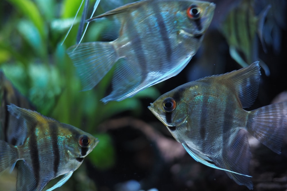 silver angel fish