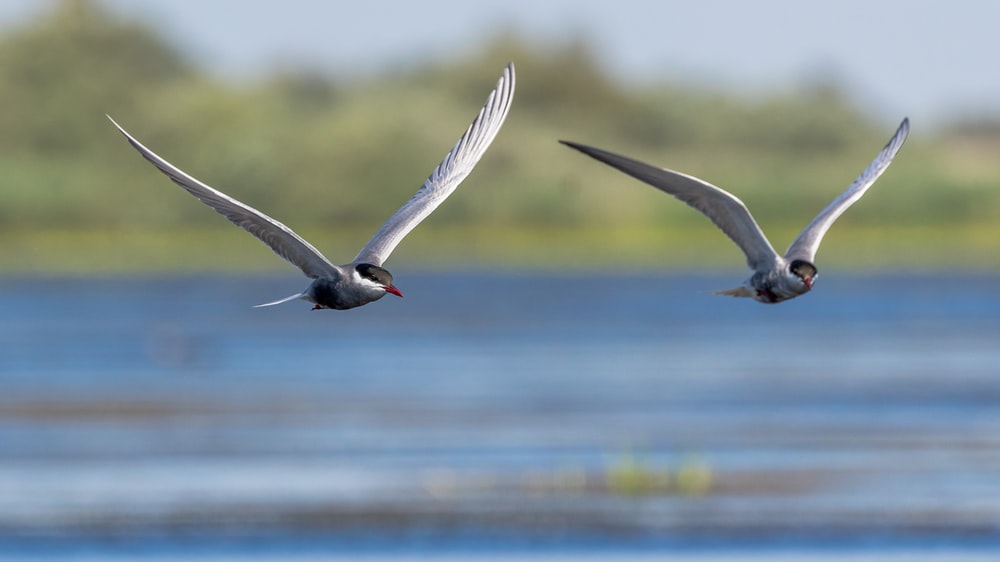 time-lapse photography of two birds in flight