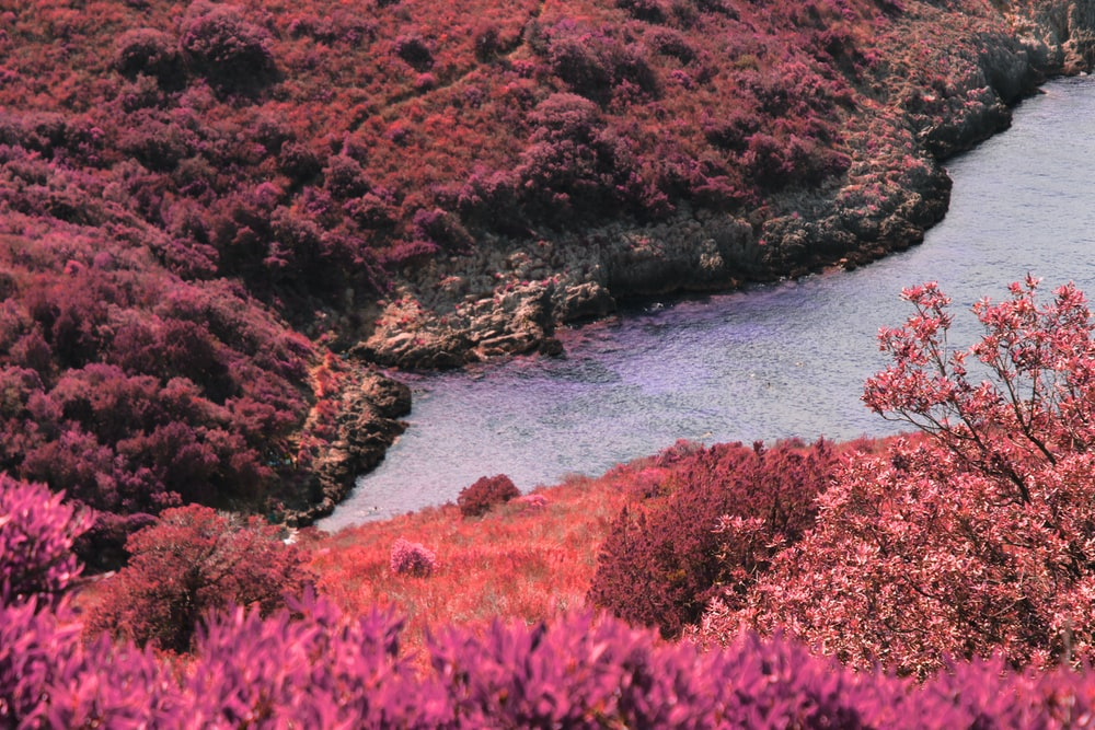 river between pink plant field during daytime