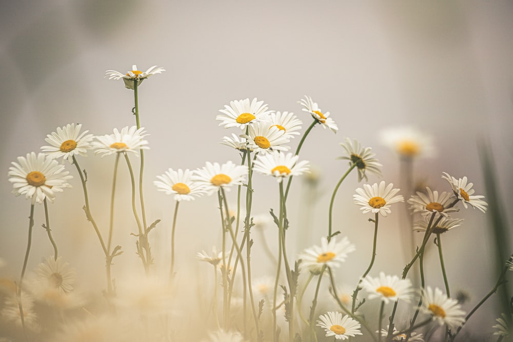 macro photography of white and yellow daisy flowers