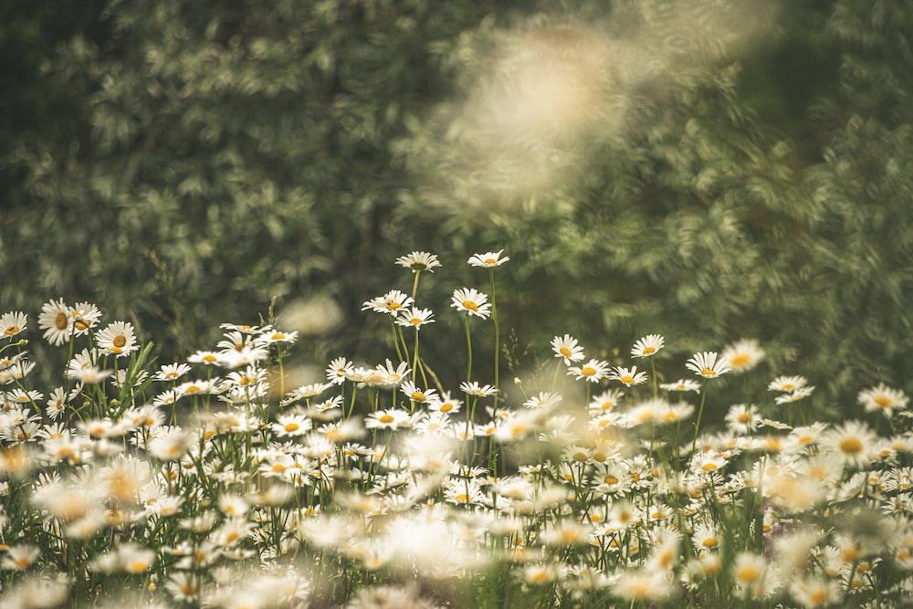 white common daisy flower field