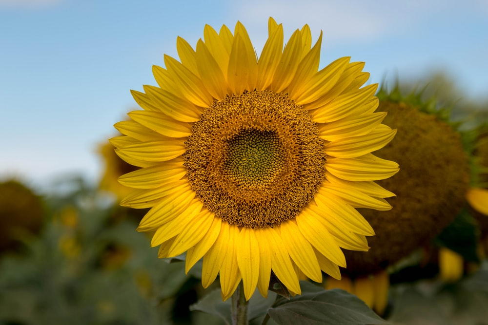 selective focus photography of yellow sunflower in bloom during daytime